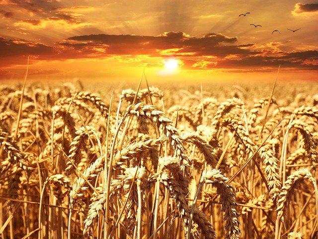 pole pšence